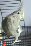 Female Whiteface Cockatiel